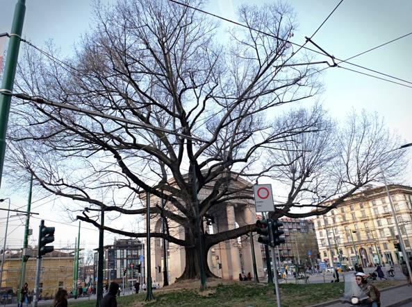 La quercia rossa che si trova in piazza XXIV Maggio (La Presse)